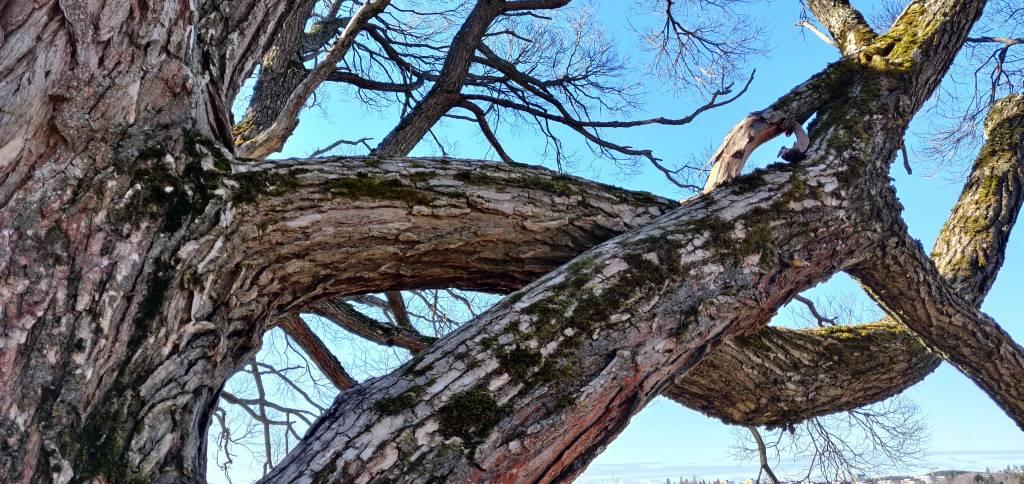 Toisiinsa kieotutuneita puunoksia - taivas taustana.